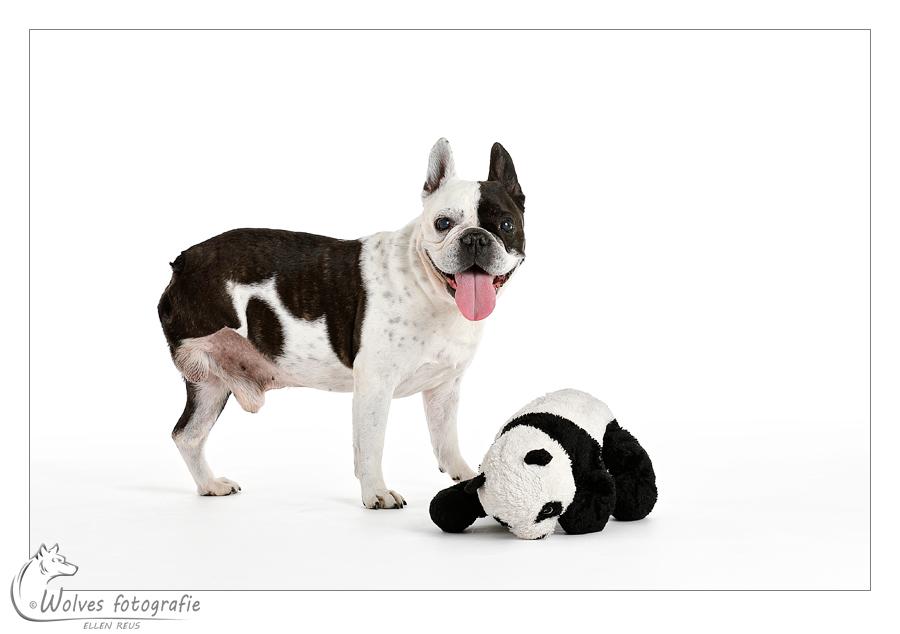 Zenzay een Frans Bulletje met 3 poten - gehandicapte dieren - Door: Ellen Reus - Wolves fotografie